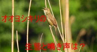 オオヨシキリの生態と鳴き声は?