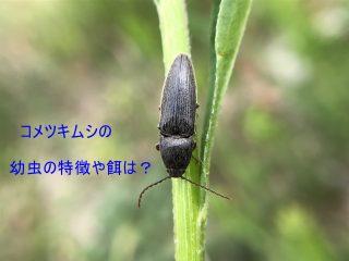 コメツキムシの幼虫の特徴や餌は?